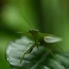 Costa Rica 2010: Osa - Peruvian Shield Mantis (Mantidae: Choeradodis rhombicollis)