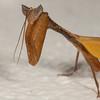 Costa Rica 2013: Uvita - 081 Dead Leaf Praying Mantis (Acanthopidae: Acanthopinae: Metilia brunnerii [alternate spellings M. brunerii, M. brunneri])