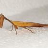 Costa Rica 2013: Uvita - 080 Dead Leaf Praying Mantis (Acanthopidae: Acanthopinae: Metilia brunnerii [alternate spellings M. brunerii, M. brunneri])