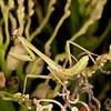 Costa Rica 2013: Dominical - 275 Praying Mantis nymph (Mantidae)
