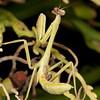 Costa Rica 2013: Dominical - 76 Praying Mantis nymph (Mantidae)