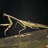 Ecuador 2012: Sacha Lodge - Mantis (Mantidae:  Stagmatopterinae: Stagmatoptera supplicaria [flavipennis]); male