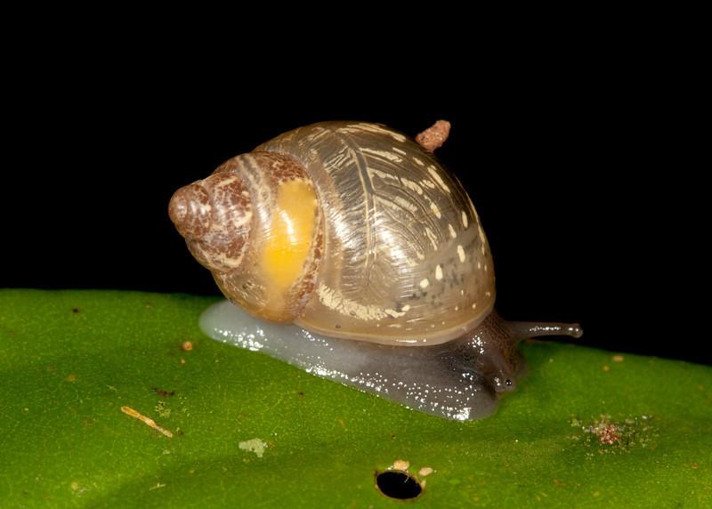 Ecuador 2012: Mindo - 019 Land Snail (Orthalicidae: Bulimulinae: Simpulopsis sp.; probably S. citrinovitrea)