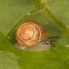 Belize 2017: Cotton Tree Lodge - Land Snail (Gastropoda)