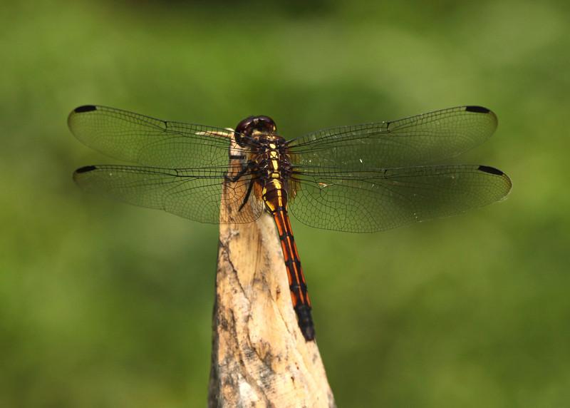 Ecuador 2012: Sacha Lodge - Tropical King Skimmer (Libellulidae: Orthemis sp., poss. O. anthracina)