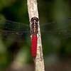 Costa Rica 2013: Uvita - 068 Hercules Skimmer or Silver-sided Skimmer (Libellulidae: Libellulinae: Libellula herculea) male