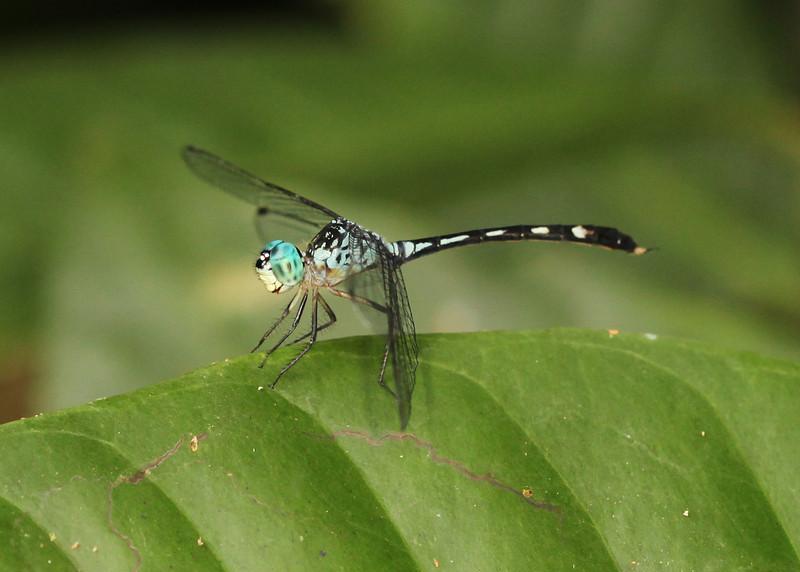 Ecuador 2012: Sacha Lodge - Blue-eyed Dasher (Libellulidae: Micrathyria sp.)