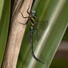 Ecuador 2012: Mindo - Blue-eyed Darner (Aeshnidae: Aeshninae: Rhionaeschna cornigera); male
