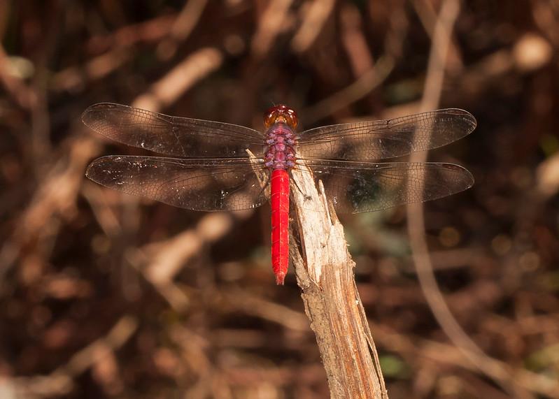 Belize 2017: Hickatee Cottages - Roseate Skimmer (Libellulidae: Libellulinae: Orthemis cf. ferruginea)