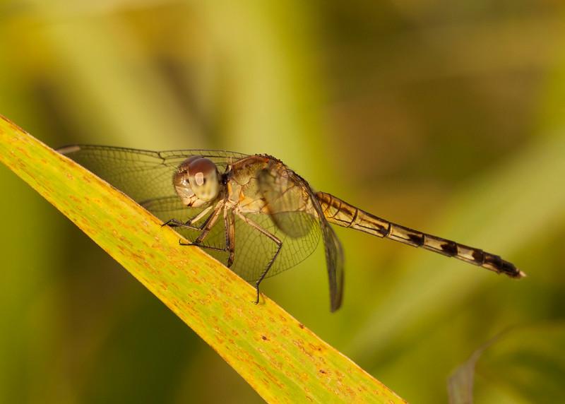 Peru 2014: Tamshiyacu-Tahuayo Reserve - Dragonlet (Libellulidae: Sympetrinae: Erythrodiplax umbrata) female