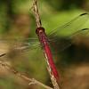 Costa Rica 2010: Osa - Carmine Skimmer (Libellulidae: Libellinae: Orthemis discolor)
