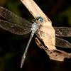 Peru 2014: Tamshiyacu-Tahuayo Reserve -  Spotted Anatya (Libellulidae: Anatya guttata)