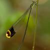 Peru 2014: Tamshiyacu-Tahuayo Reserve - Helicopter Damselfly (Pseudostigmatidae: Anomisma abnorme)