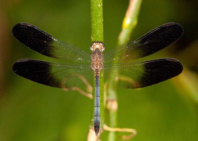 Costa Rica 2013: Dominical - 269 Tropical Skimmer (Libellulidae: Brachydiplacinae: Uracis fastigiata) male