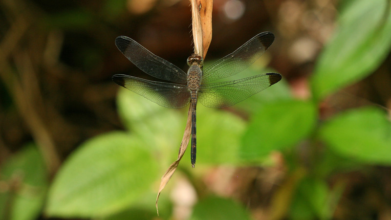 Costa Rica 2010: Osa - Tropical Skimmer or Common Woodskimmer (Libellulidae: Brachydiplacinae: Uracis imbuta) female