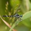 Peru 2014: Tamshiyacu-Tahuayo Reserve - Dragonlet (Libellulidae: Sympetrinae: Erythrodiplax longitudinalis) male