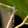 Costa Rica 2013: Dominical - 322 Spotted Anatya (Libellulidae: Brachydiplacinae: Anatya guttata) male