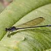 Ecuador 2012: Mindo - Pond Damsel (Coenagrionidae: Argia sp.)