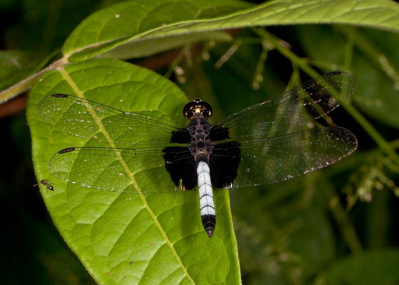 Peru 2014: Tamshiyacu-Tahuayo Reserve -  Dragonlet (Libellulidae: Sympetrinae: Erythrodiplax unimaculata) male
