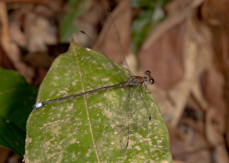 Costa Rica 2013: Uvita - 253 Spreadwing Damselfly (Zygoptera: Megapodagrionidae: Agriolestinae: Philogenia sp.; possibly P. carrillica) male