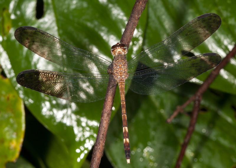 Costa Rica 2013: Dominical - 409 Tropical Skimmer (Libellulidae: Brachydiplacinae: Uracis fastigiata) female
