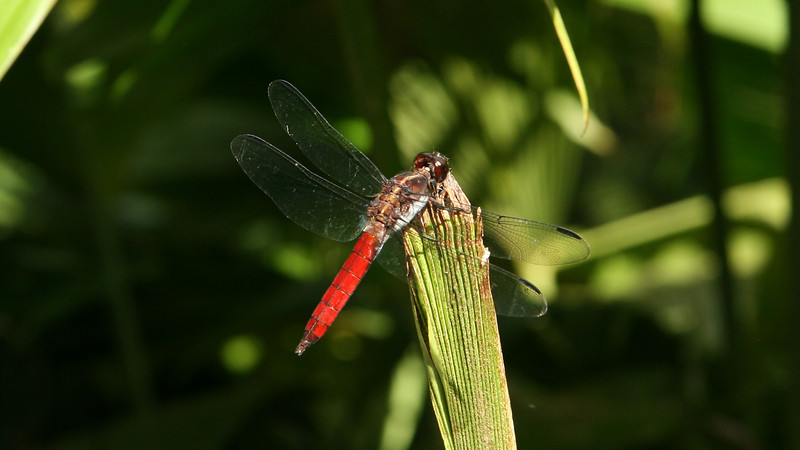 Costa Rica 2009: Paquare River - Hercules Skimmer or Silver-sided Skimmer (Libellulidae: Libellulinae: Libellula herculea) male