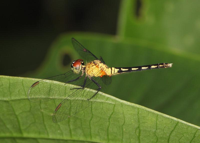 Ecuador 2012: Sacha Lodge - Tropical Dragonlet (Libellulidae: Sympetrinae: Erythrodiplax sp.; poss E. tenuis; female)