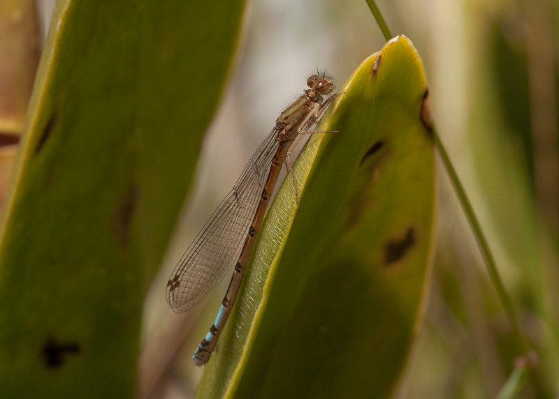 Ecuador 2012: Otavalo - Possibly a female Pond Damsel (Coenagrionidae: Oxyallagma dissidens)