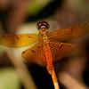 Peru 2014: Tamshiyacu-Tahuayo Reserve - Amberwing (Libellulidae: Palpopleurinae: Perithemis sp.)