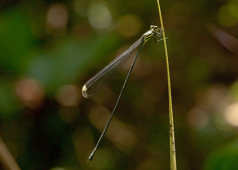 Costa Rica 2013: Uvita - 249 Helicopter Damselfly (Pseudostigmatidae: probably Pseudostigma sp.; possibly P. accedens)