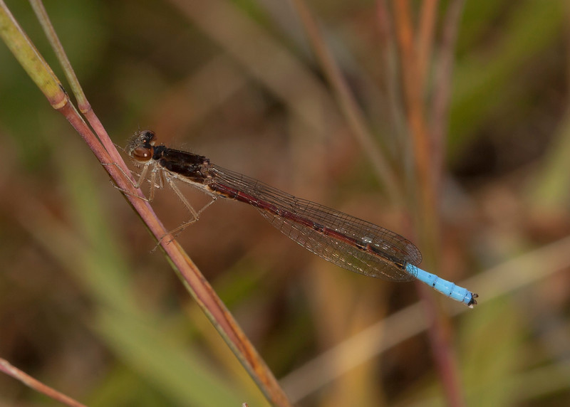 Ecuador 2012: Otavalo - Male Pond Damsel (Coenagrionidae: Oxyallagma dissidens), Laguna Cuicocha