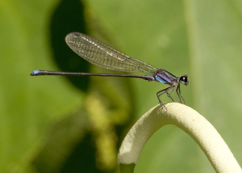 Costa Rica 2013: Uvita - 032 Damselfly (Zygoptera: Coenagrionidae: Argiinae: Argia indicatrix) male