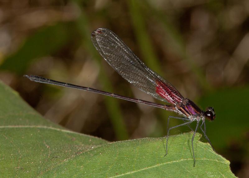 Costa Rica 2013: Uvita - 476 Rubyspot damselfly (Calopterygidae: Hetaerinae: Hetaerina sp.; probably H. majuscula) male
