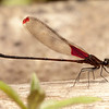 Ecuador 2012: Mindo - Rubyspot damselfly (Calopterygidae: Hetaerina aurora)