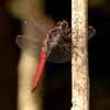 Costa Rica 2013: Uvita - 071 Hercules Skimmer or Silver-sided Skimmer (Libellulidae: Libellulinae: Libellula herculea) male