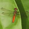 Ecuador 2012: Sacha Lodge - White-eyed Skimmer (Libellulidae: Fylgia amazonica) female