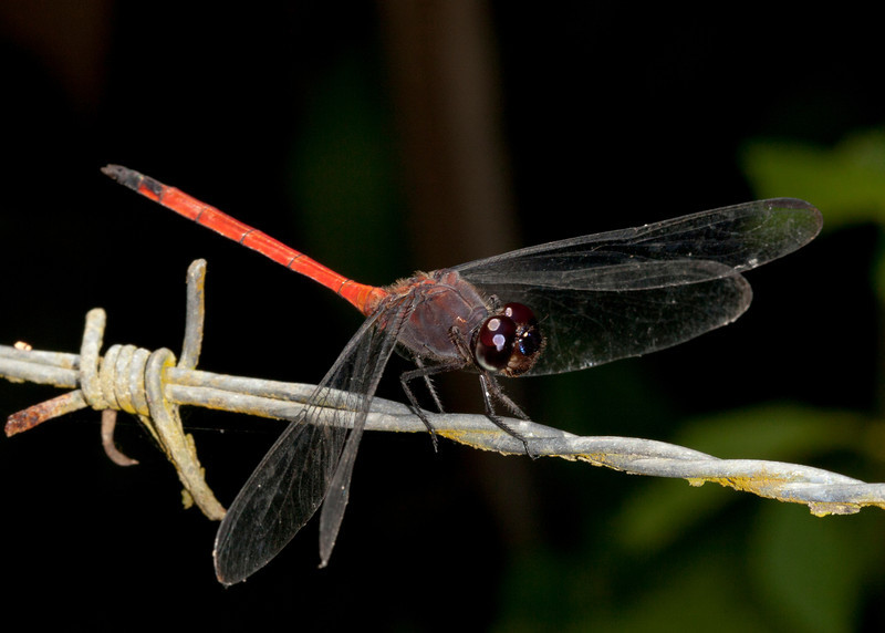 Costa Rica 2013: Dominical - 030 Tropical King Skimmer (Libellulidae: Libellinae: Orthemis levis)