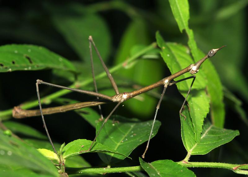 Peru 2012: Rio Madre de Dios - 0.14 Jumping Stick (Proscopiidae: Proscopiinae: Proscopiini: probably Proscopia sp.)
