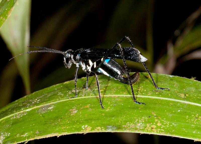 Peru 2014: Tamshiyacu-Tahuayo Reserve - Wasp-mimicing Katydid Tettigoniidae: Phaneropterinae: Aganacris pseudosphex) very effectively mimics a Tarantula Hawk