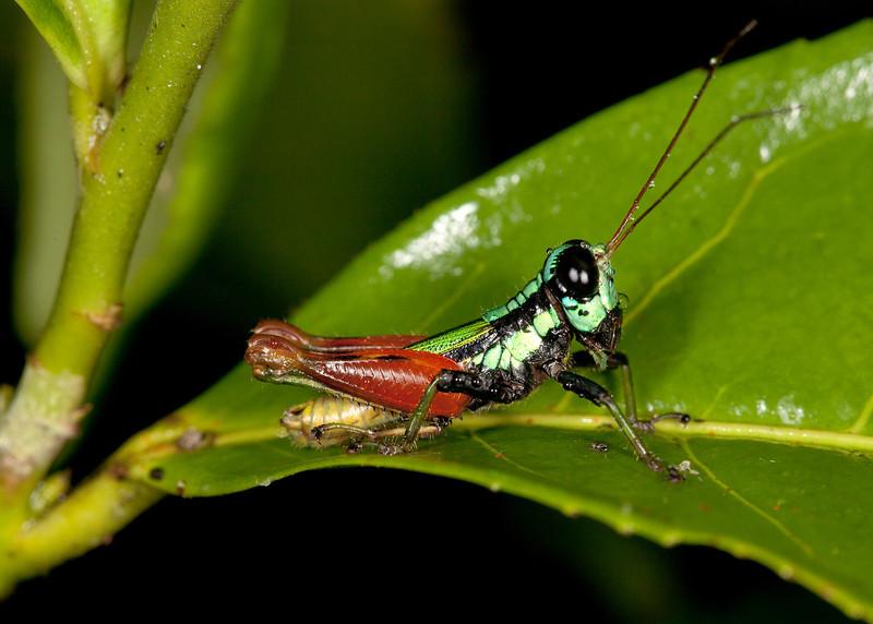 Ecuador 2012: Mindo - 086 False Monkey Hopper (Romaleidae: Bactrophorinae:  Taeniophorini: Taeniophora sp.)