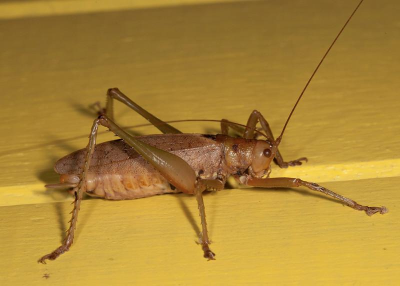 Costa Rica 2013: Uvita - 279 Katydid (Tettigoniidae: Pseudophyllinae)