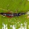 Peru 2014: Tamshiyacu-Tahuayo Reserve - Unidentified grasshopper nymph (Acrididae?)