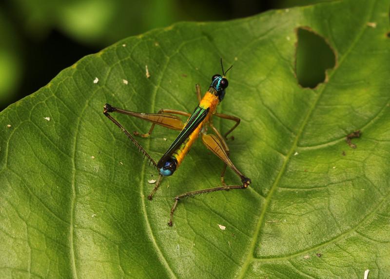 Ecuador 2012: Sacha Lodge - Monkey Grasshopper (Eumastacidae: Eumastacinae: Eumastacini: probably Eumastax sp.; possibly Paramastacinae: Paramastacini: Paramastax sp.)