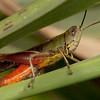 Costa Rica 2013: Dominical - 330 Grasshopper (Acrididae: Gomphocerinae: Amblytropidiini: Amblytropidia trinitatis)