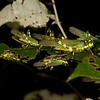Ecuador 2012: Mindo - 008 Ecuadorian Lubber Grasshopper (Romaleidae: Romaleinae: Chromacris psittacus pacificus)