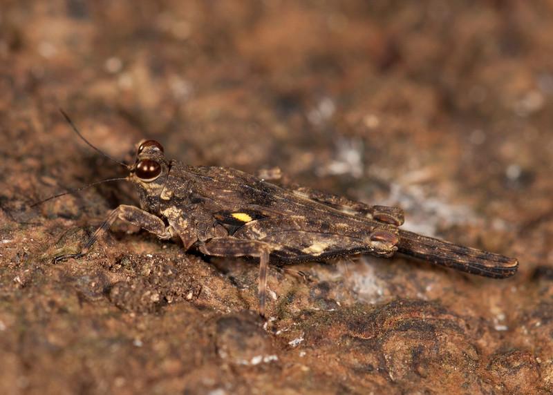 Peru 2014: Tamshiyacu-Tahuayo Reserve - Grouse Locust (Tetrigidae: Metrodorinae: Otumba sp.; near Otumba amazonica)