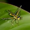 Peru 2012: Rio Madre de Dios - 120 Monkey Garasshopper (Eumastacidae: Eumastacinae: Eumastacini: Eumastax sp.)