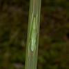 Costa Rica 2013: Dominical - 045 Conehead Katydid nymph (Tettigoniidae: Conocephalinae: Copiphorini: probably Neoconocephalus sp.)
