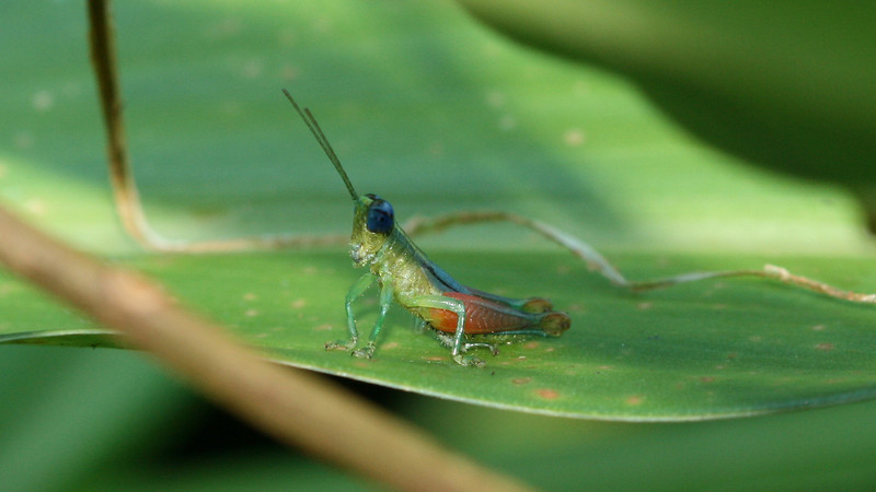 Costa Rica 2010: Osa - Tiny but colourful rainforest grasshopper (Acrididae: probably subfamily Proctolabinae)