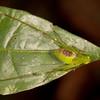 Peru 2014: Tamshiyacu-Tahuayo Reserve - Katydid nymph (Tettigoniidae: Phaneropterinae)